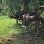 Kühe. Überall sind Kühe. Überall. © www.ichmachdannmalsport.de/Nina-Carissima Schönrock